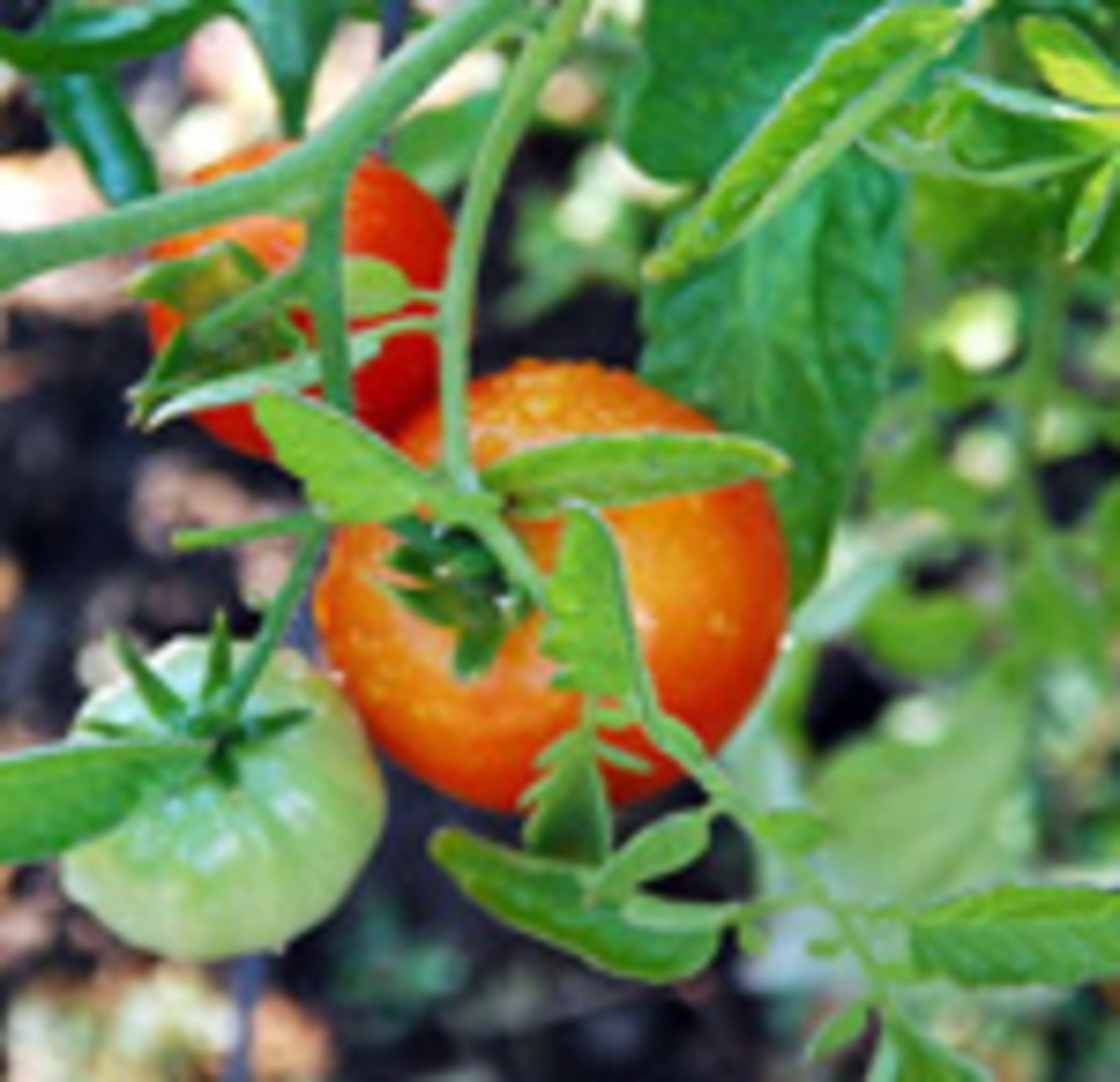 Soil For Tomatoes: Grow Stronger Tomato Plants With Deep Planting