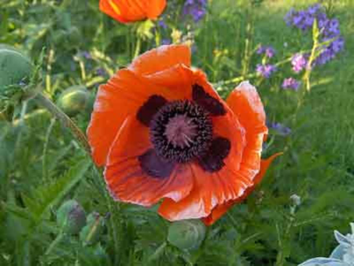 When To Divide Perennials Horticulture
