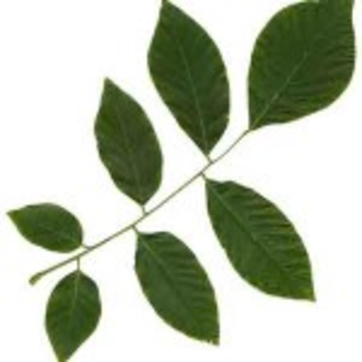yellowwood compound leaf