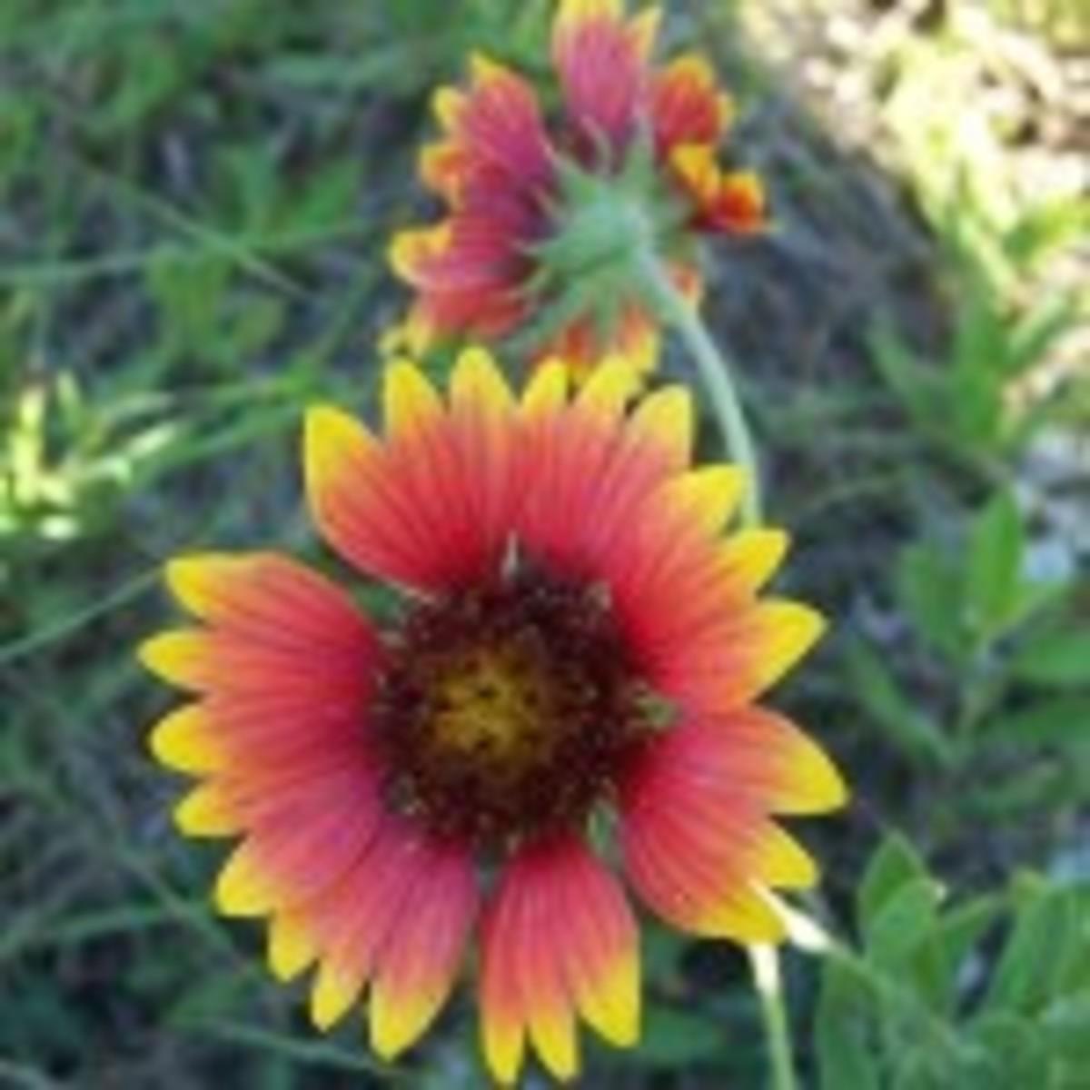 Indian Blanket Flower (Gaillardia pulchella)