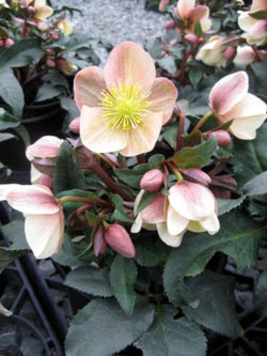 camelot gold collection hellebore