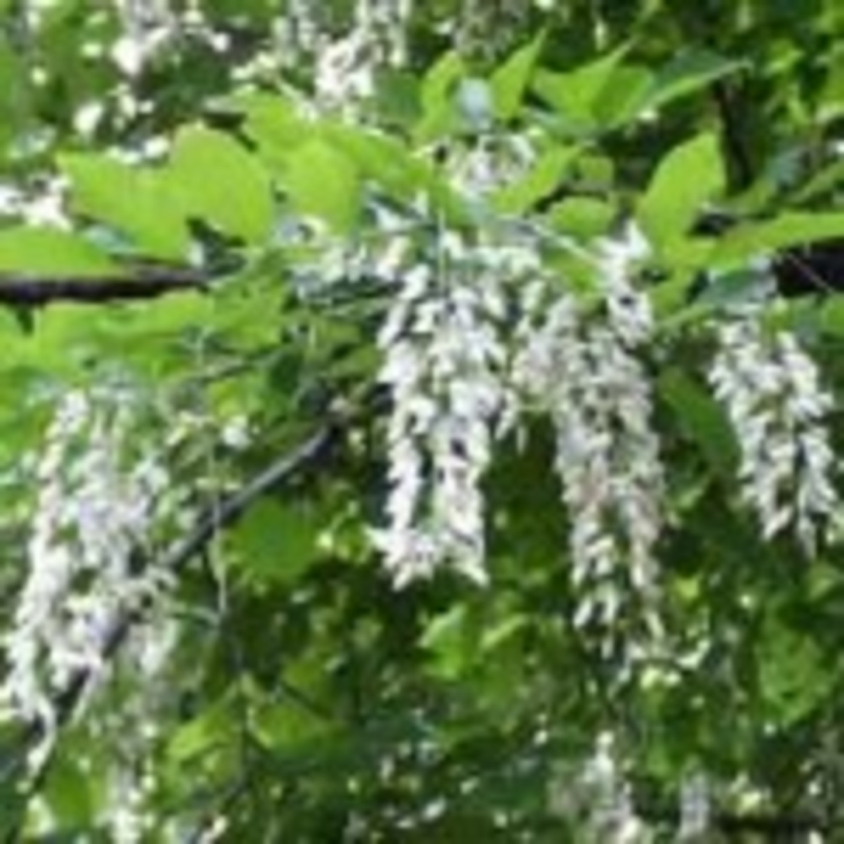 yellowwood flower