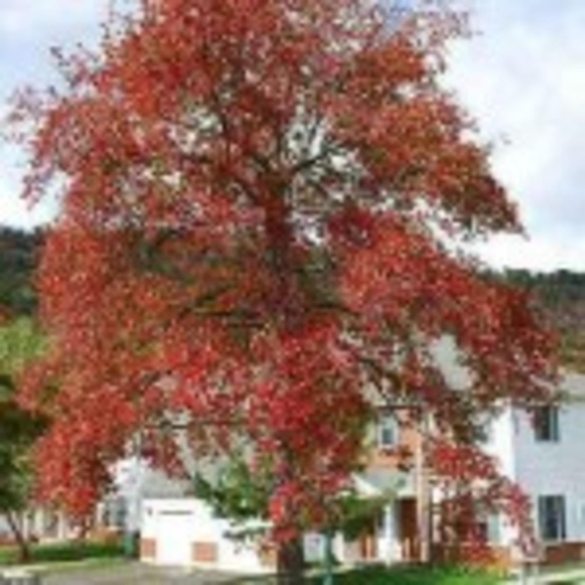 Black Gum tree Nyssa sylvatica