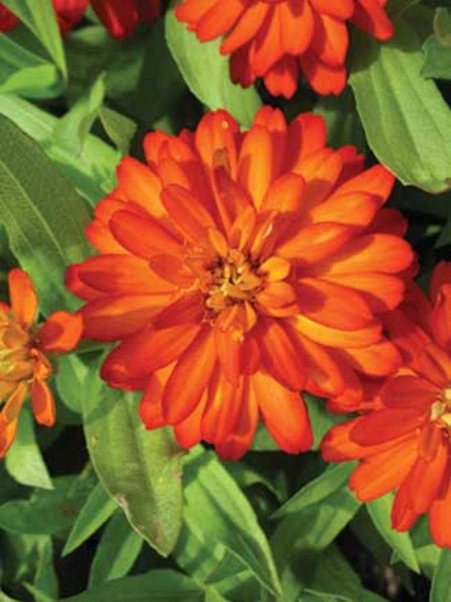 Scarlet-orange double blossoms of this zinna variety