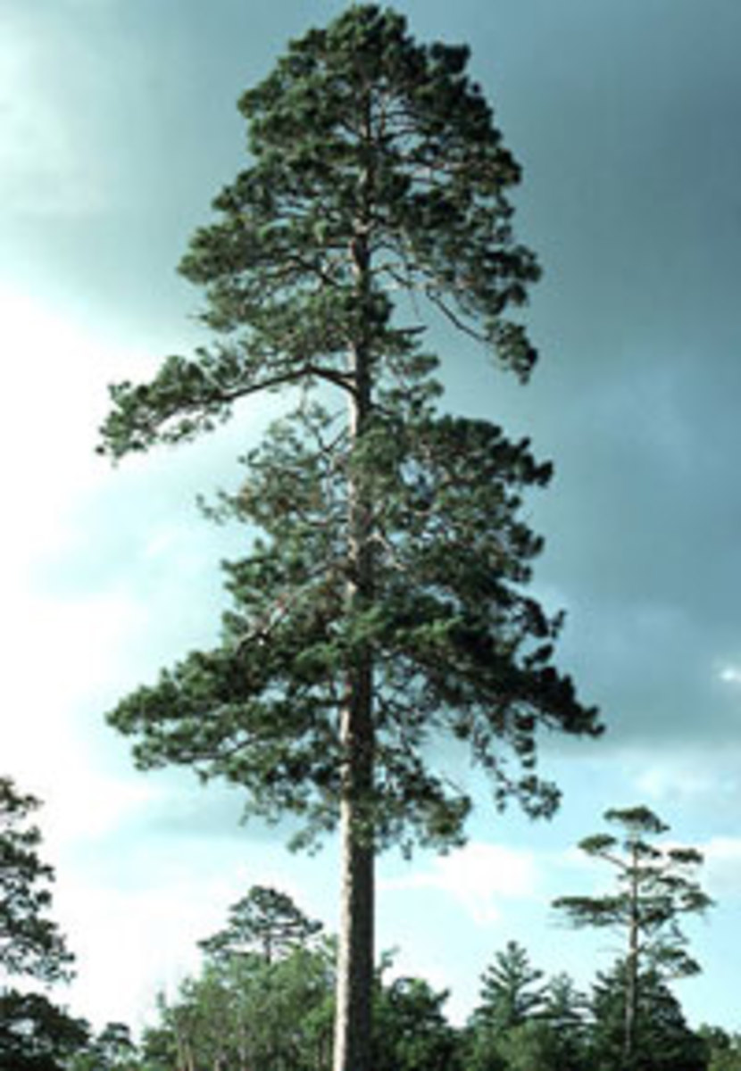 red pine pinus resinosa