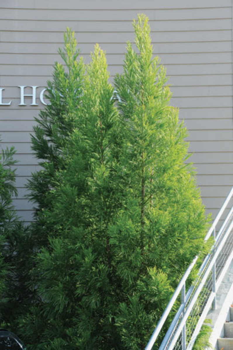 Yoshino-Japanese-cedar