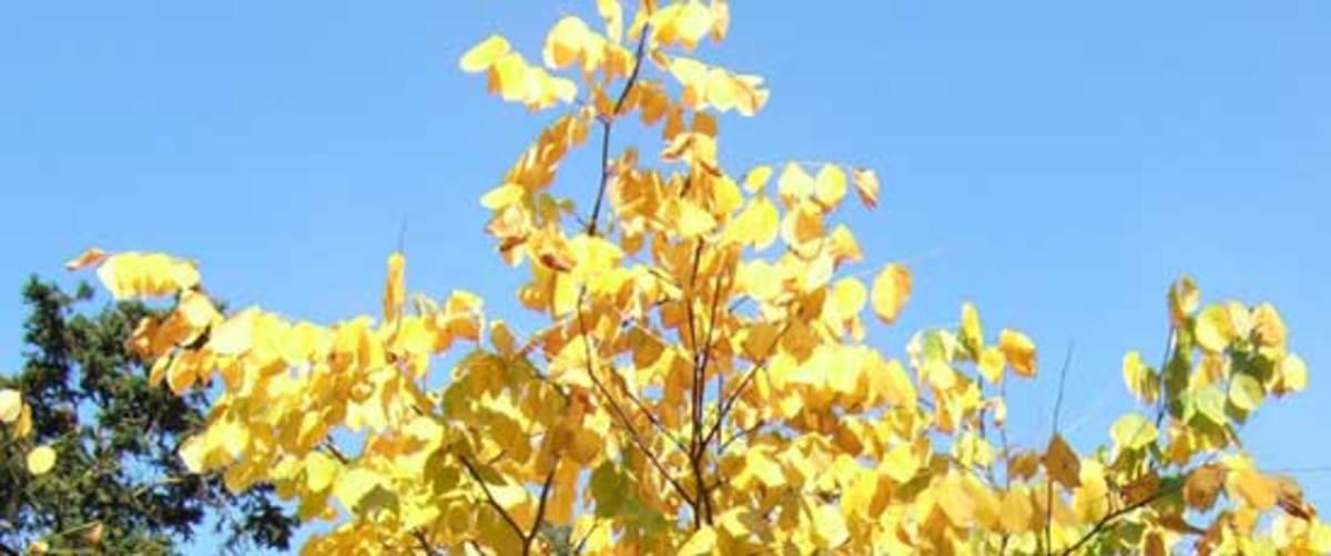 Yellowwood foliage