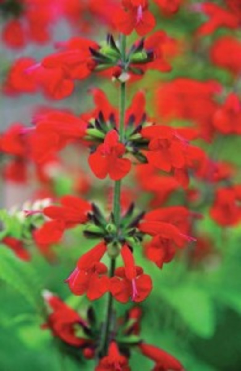 Bright red blooms attract humming birds