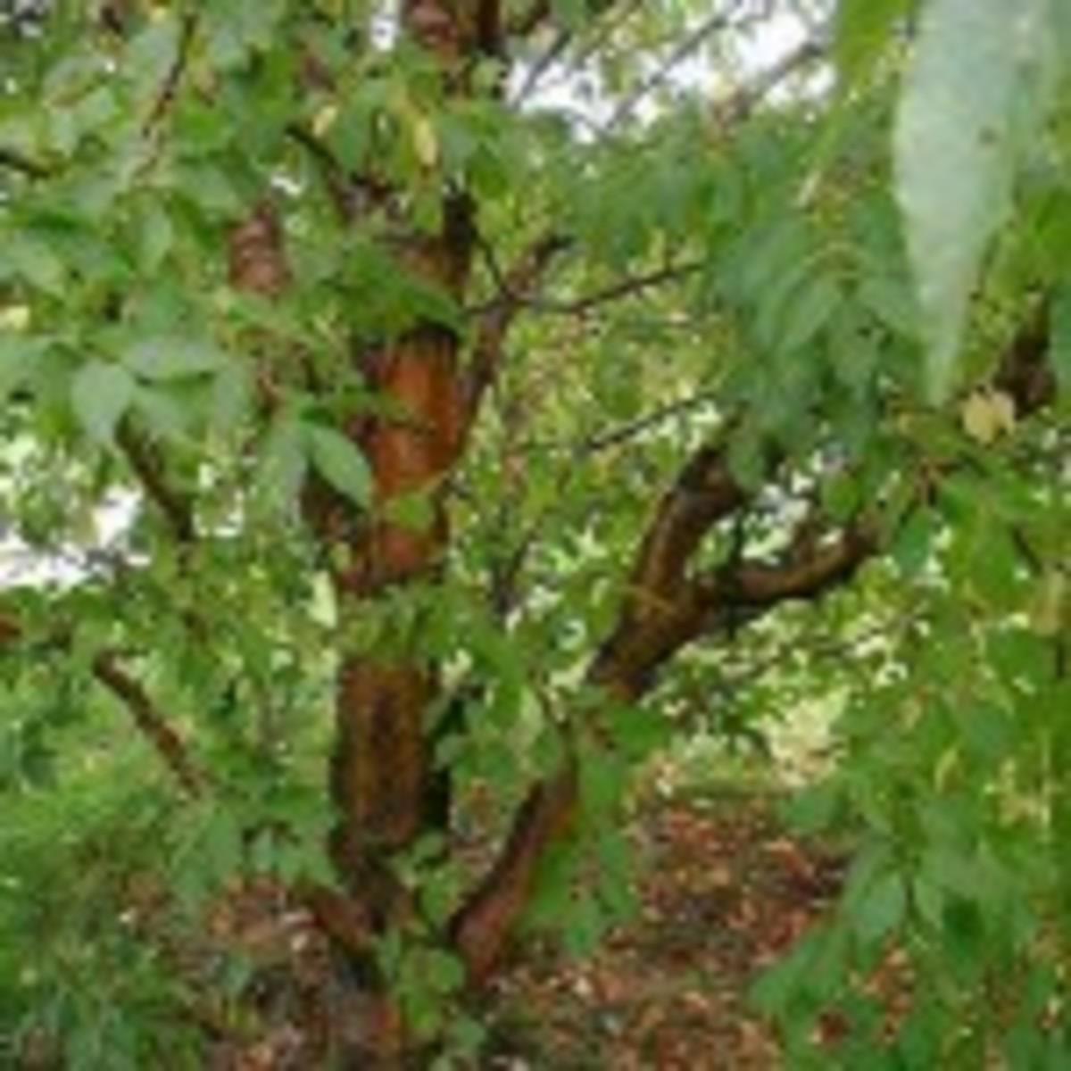 amur chokecherry Prunus maackii