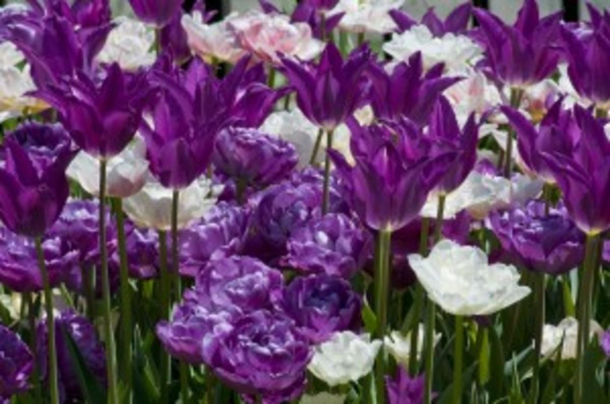 Ala Ska Tulips Horticulture