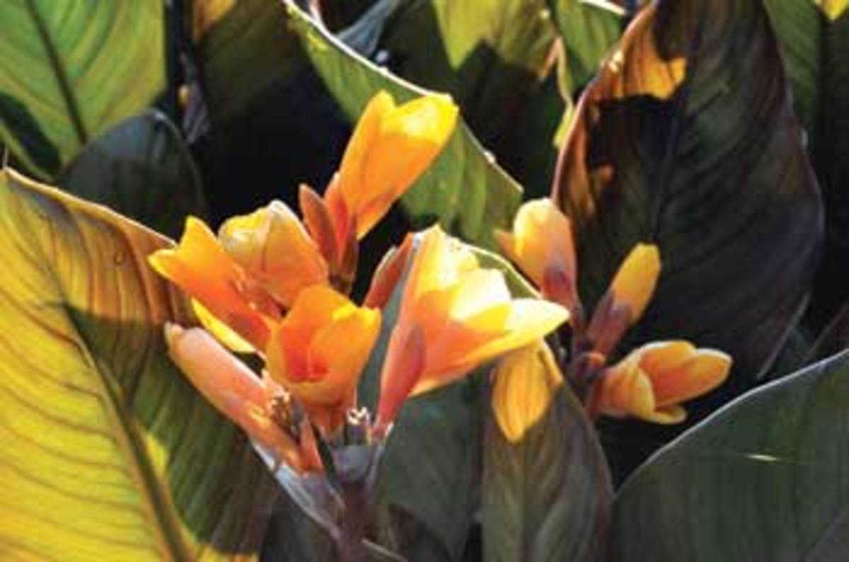 Yellow-orange blooms of Chocolate Sunrise canna