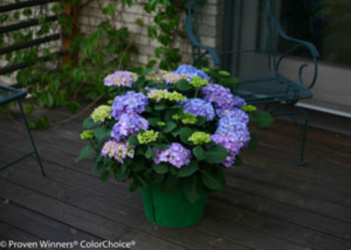 lets dance rhapsody blue hydrangea