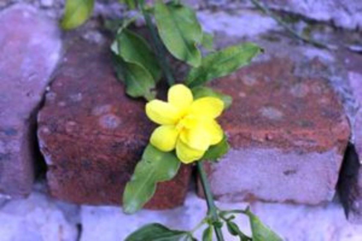 yellow-flowered vine carolina jessamine