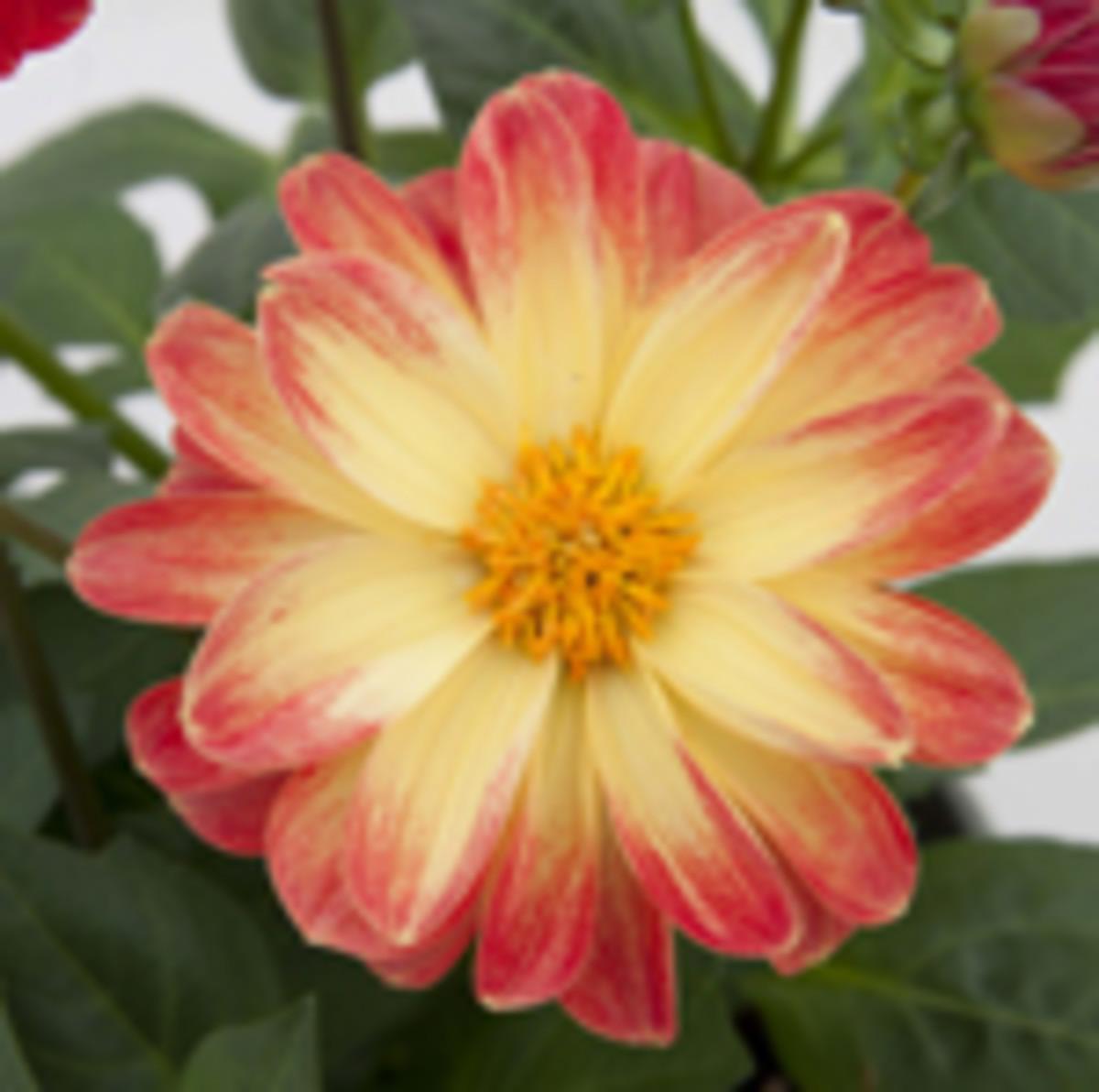Dahlia_Dalaya_Red_Yellow_Eye_Bloom
