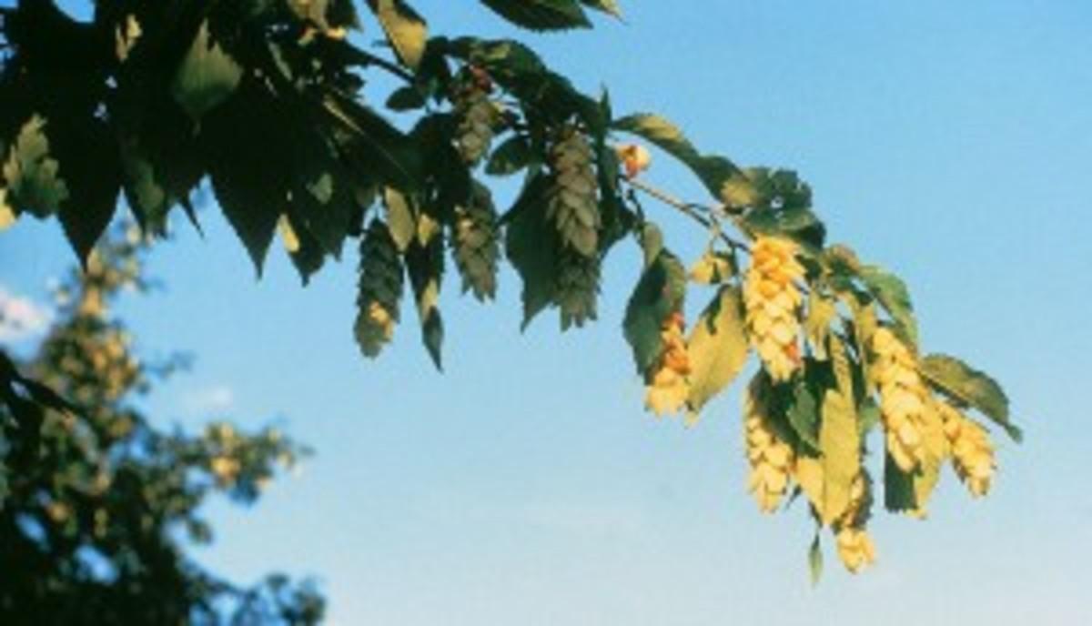 Hop Hornbeam (Ostrya virginiana)