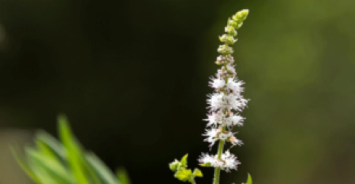 Actaea racemosa flower