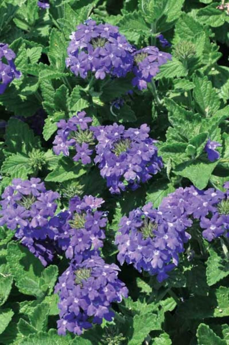 Bluish-purple blooms of Temari Patio Blue