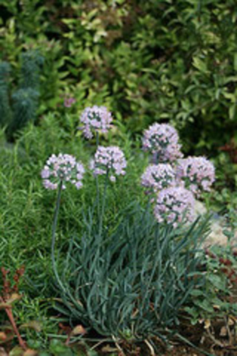 allium senescens glaucum