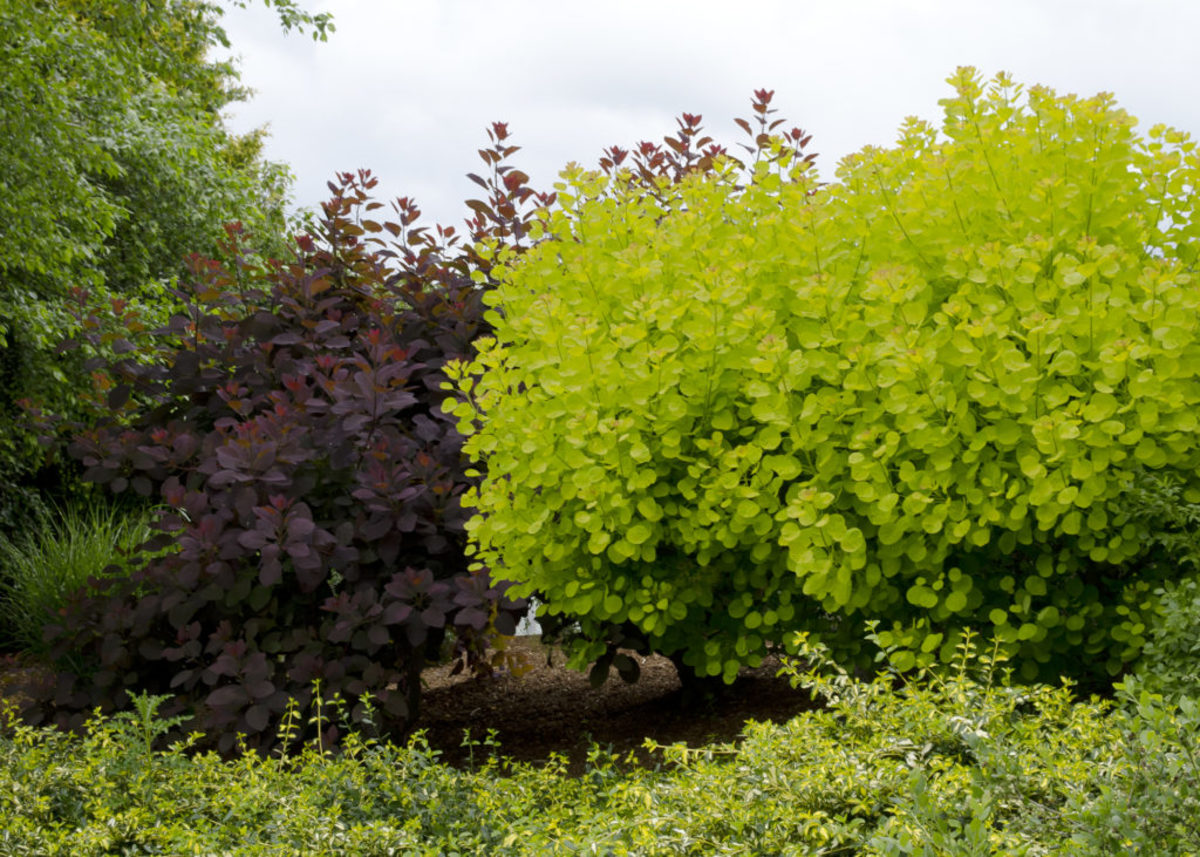right-plants-smokebush