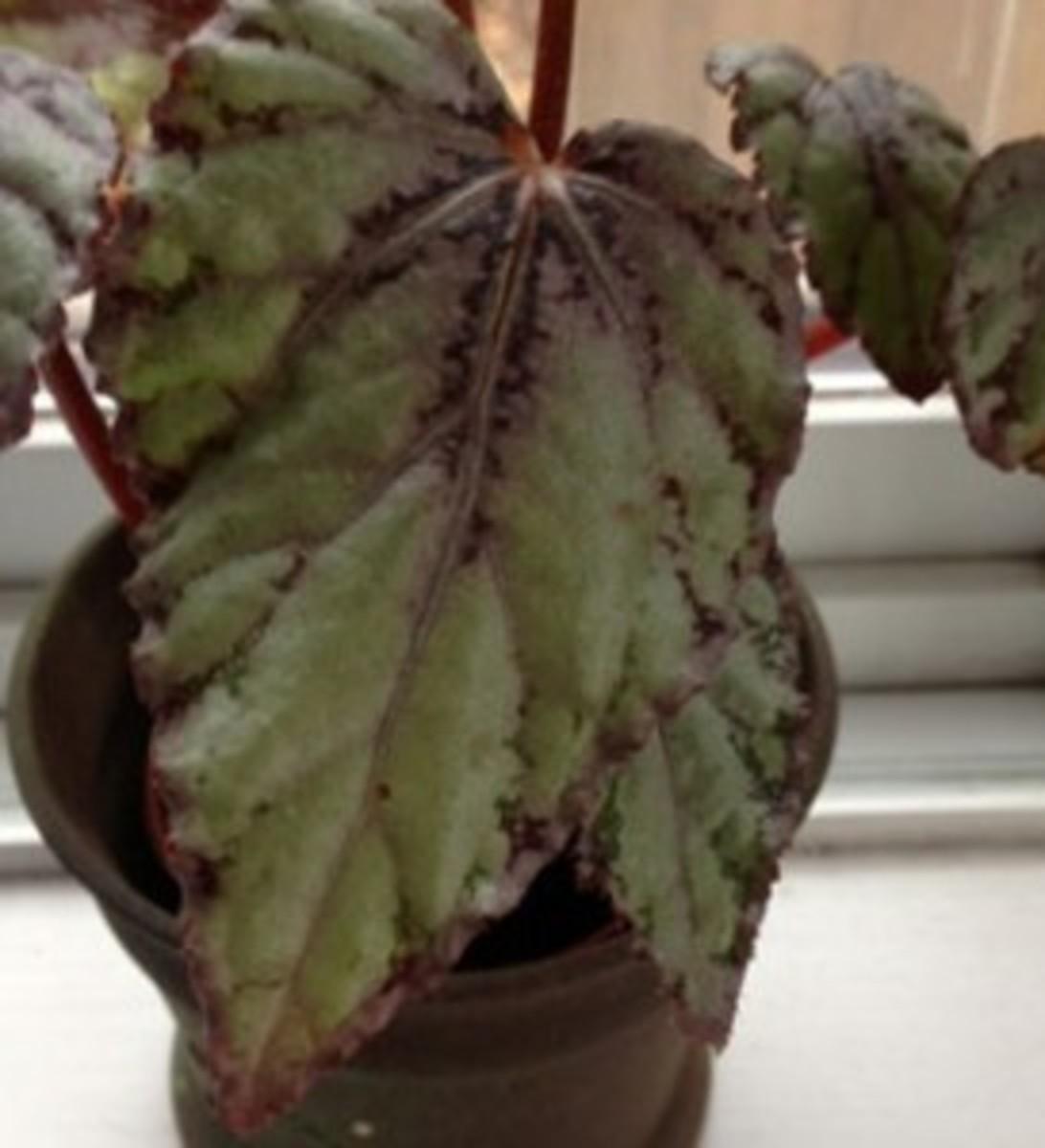 miniature rex begonia
