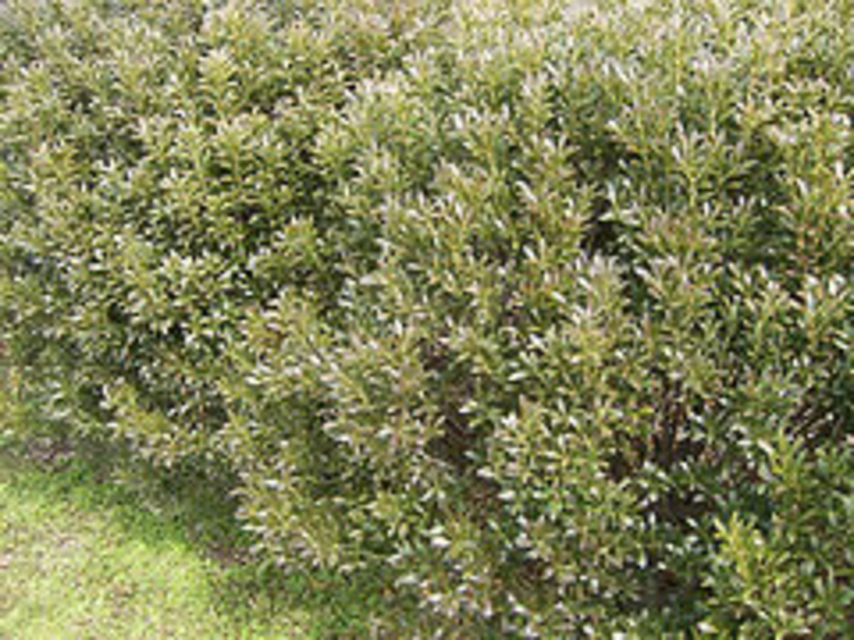 inkberry holly ilex glabra