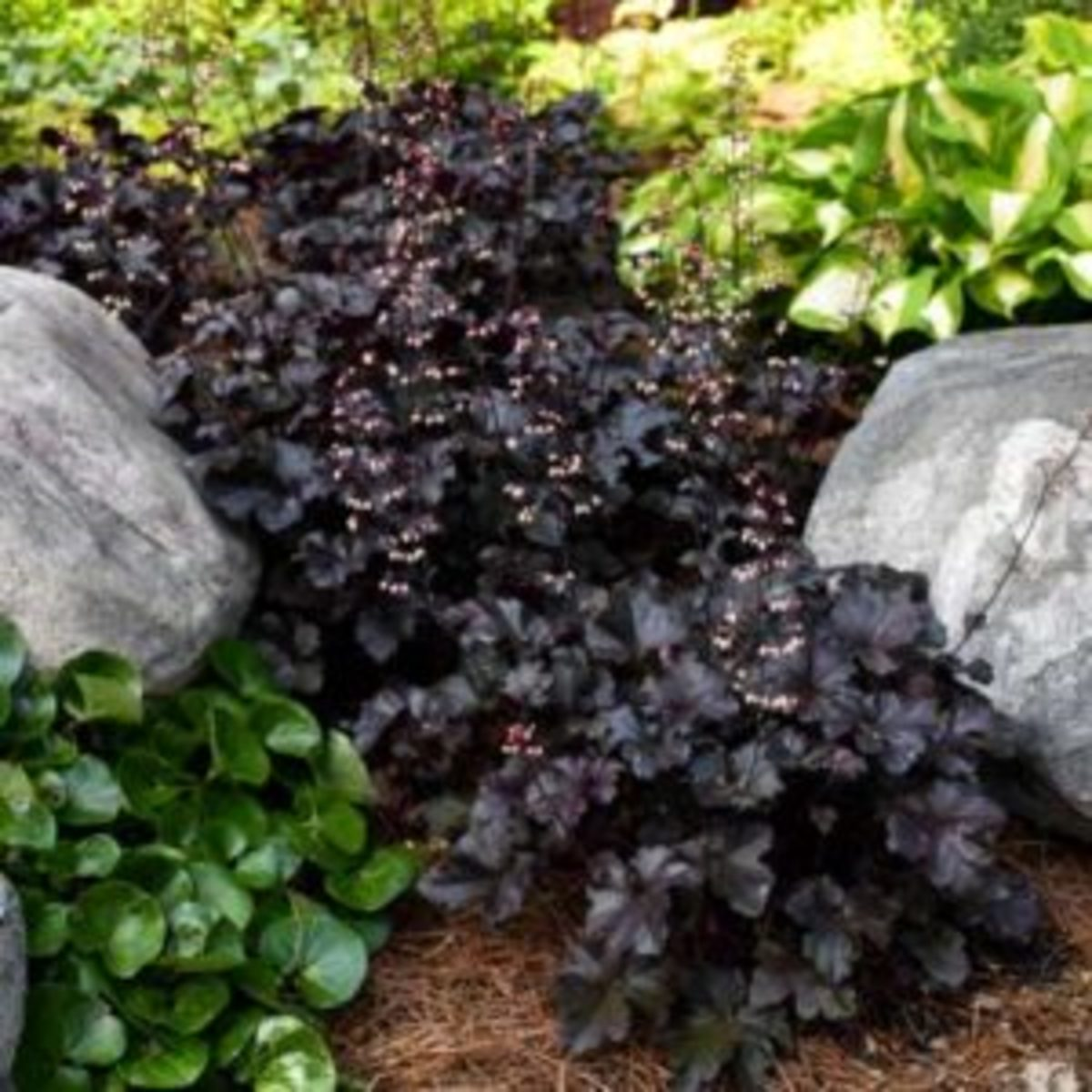black pearl heuchera