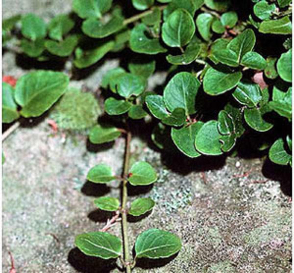 partridgeberry mitchella repens