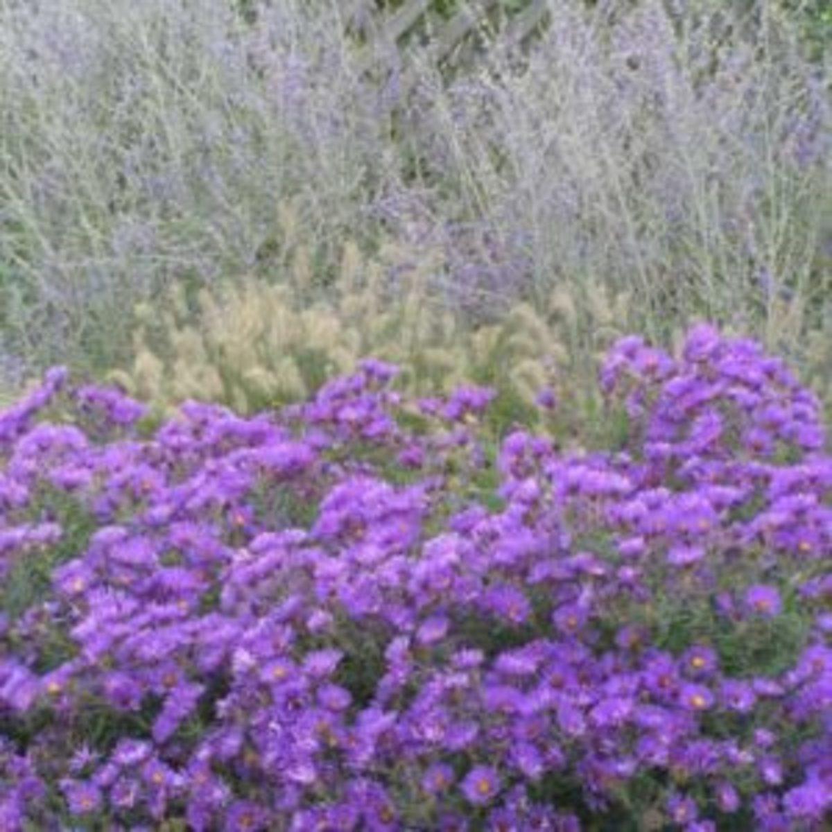 purple dome aster