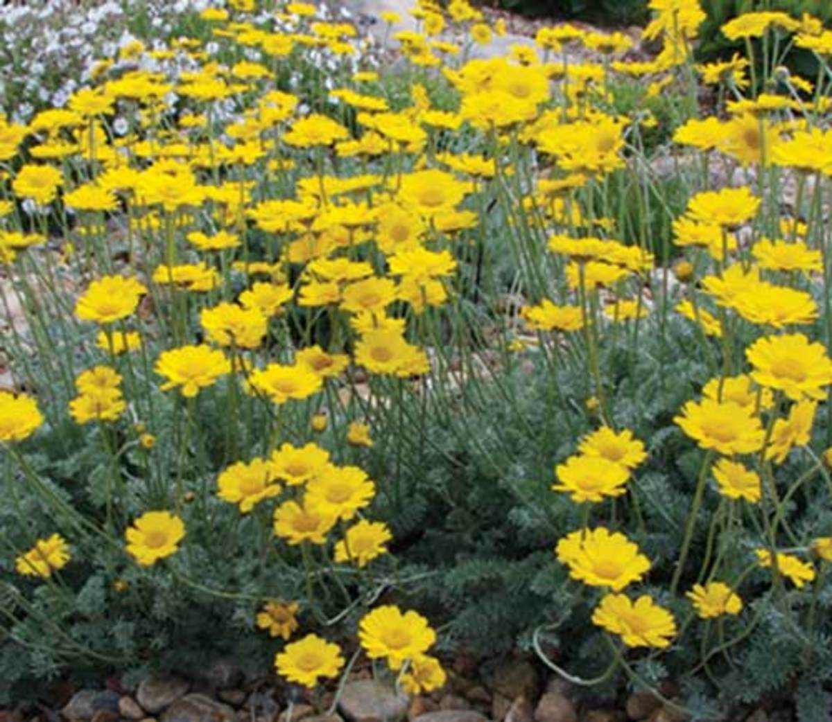 Profuse, gold blooms of Filigree Daisy