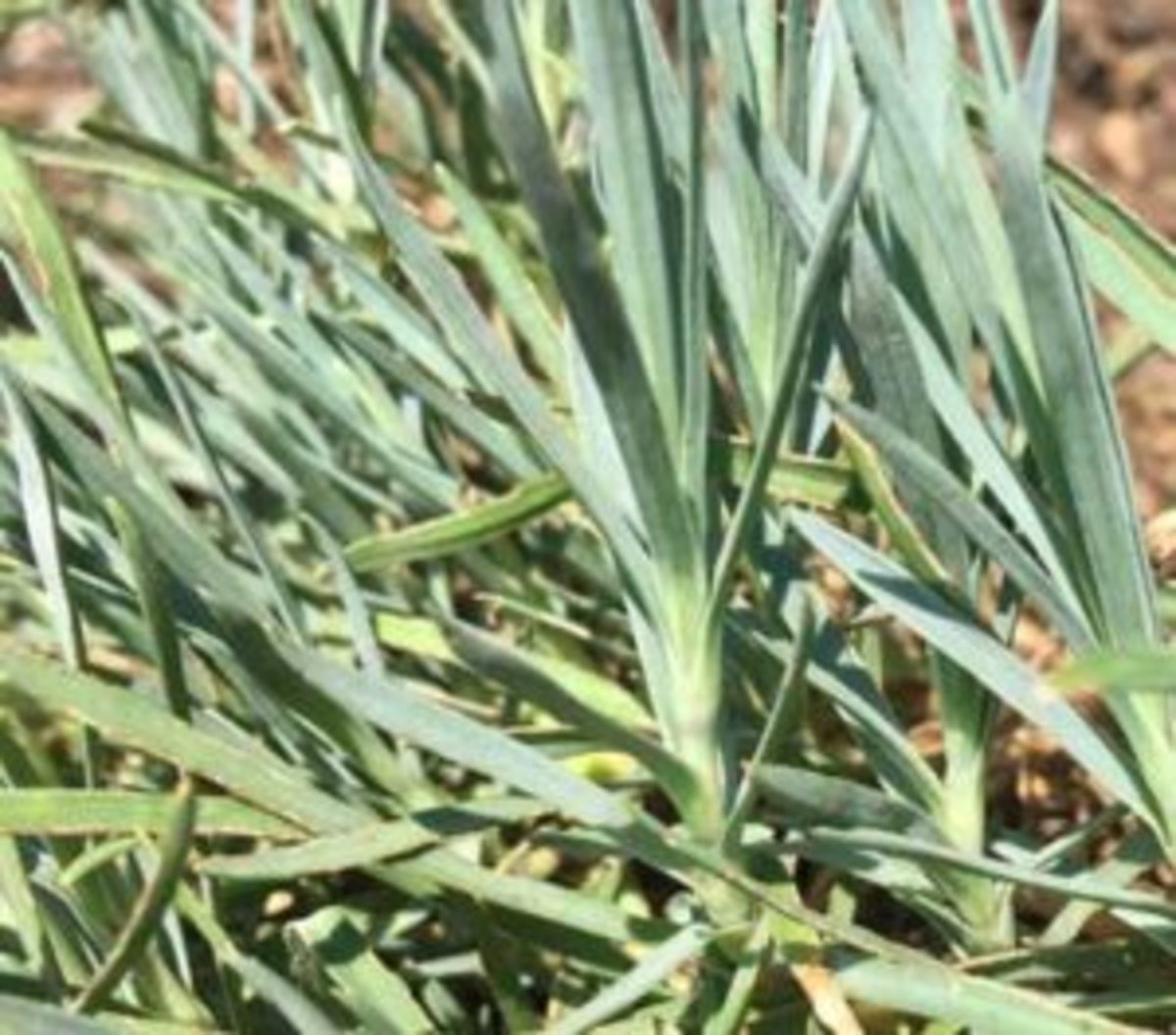 Silver Strike Dianthus
