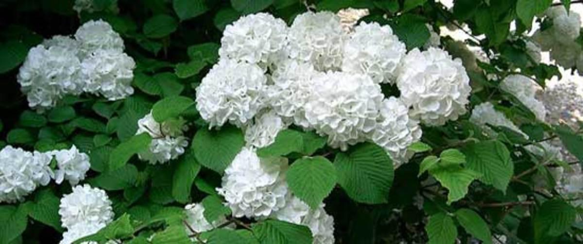 Japanese Snowball Viburnum plicatum
