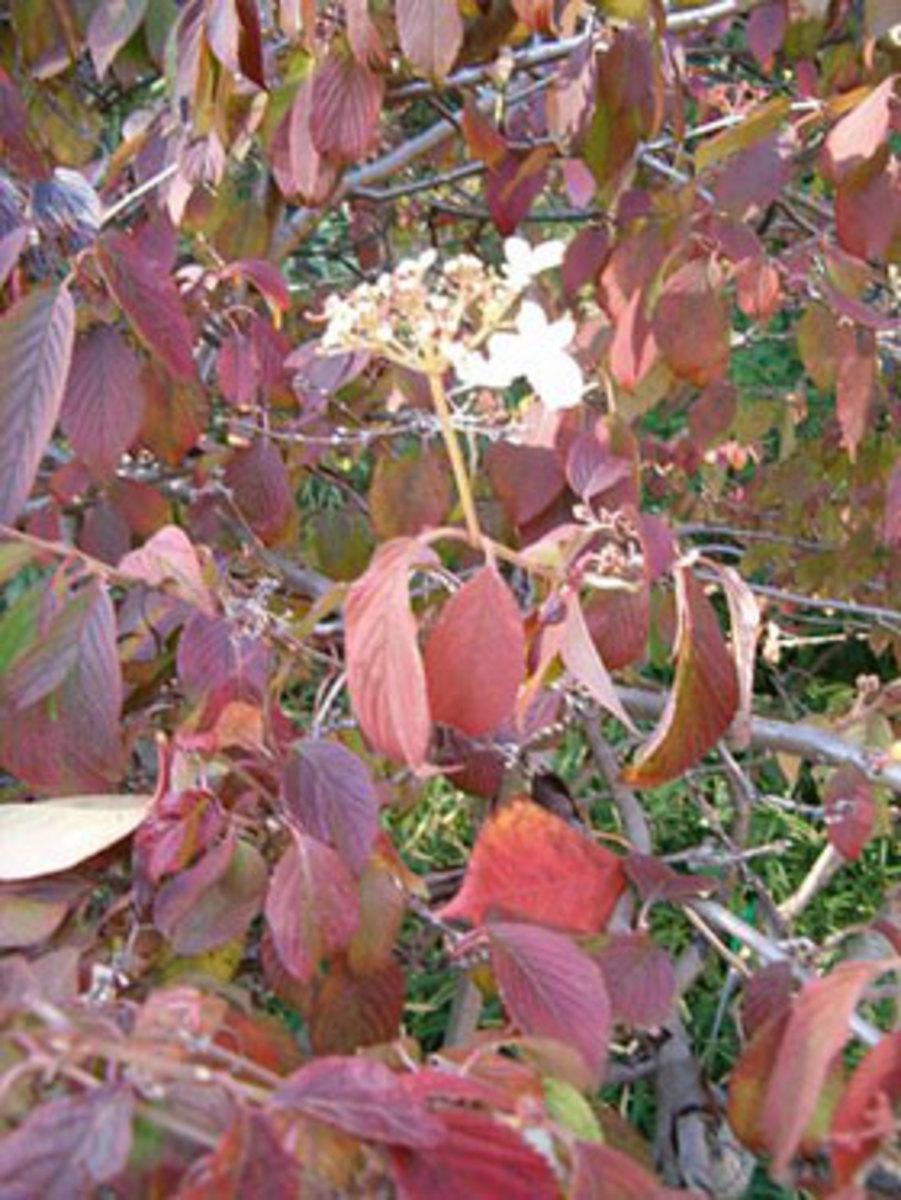 doublefile viburnum fall foliage