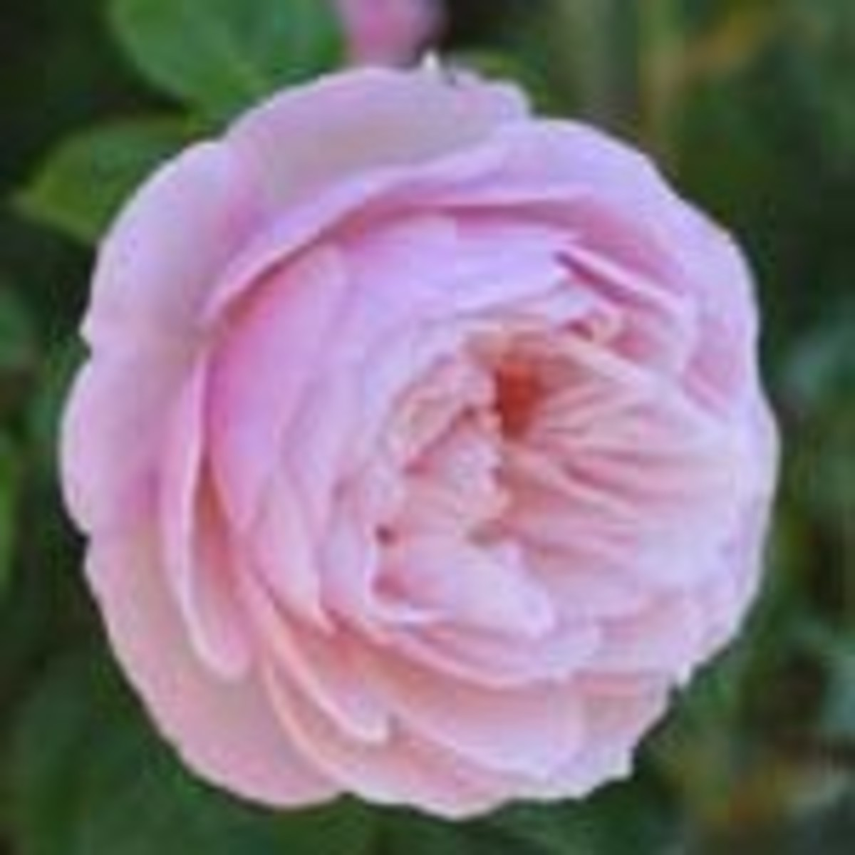 Generous Gardener rose