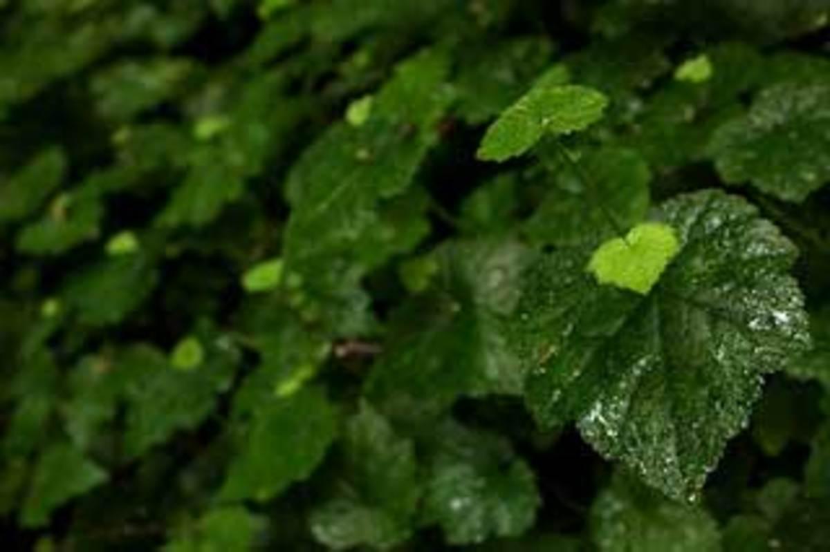 piggyback plant tolmiea menziesii