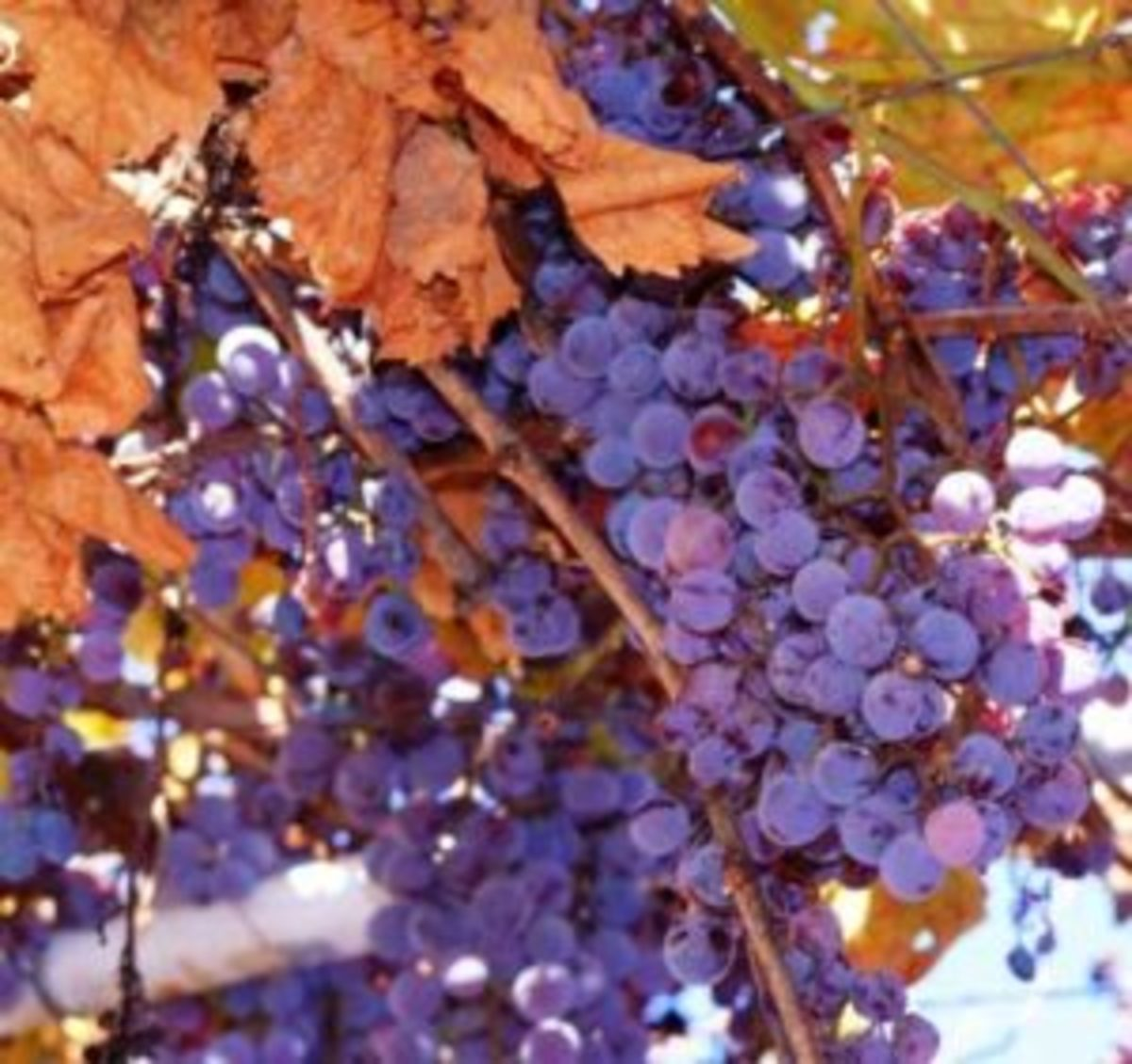 Concord Grapes For The Home Garden Horticulture