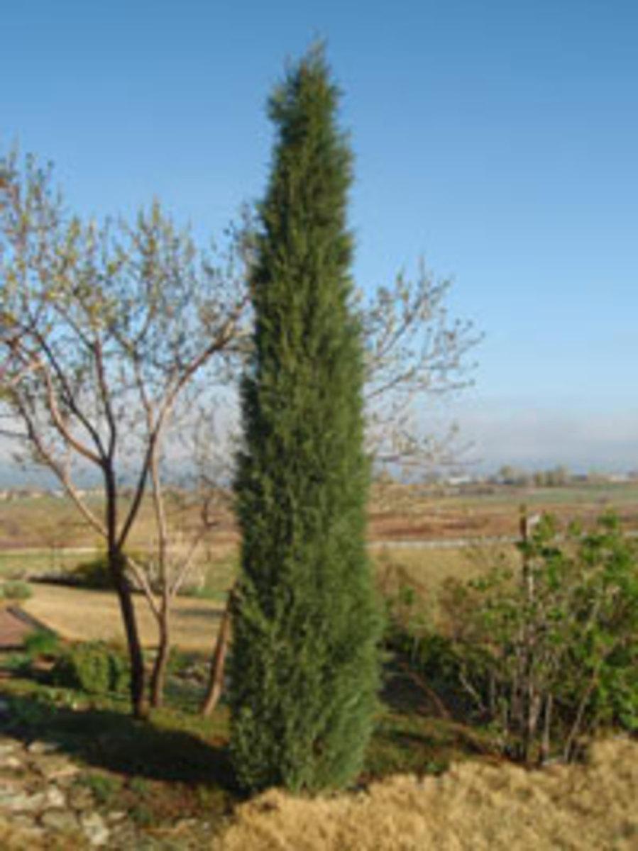 woodward juniper