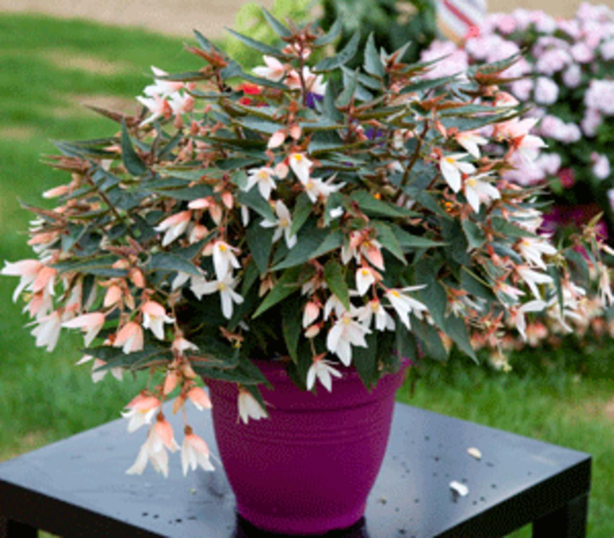 flowering shade plant bossa nova begonia