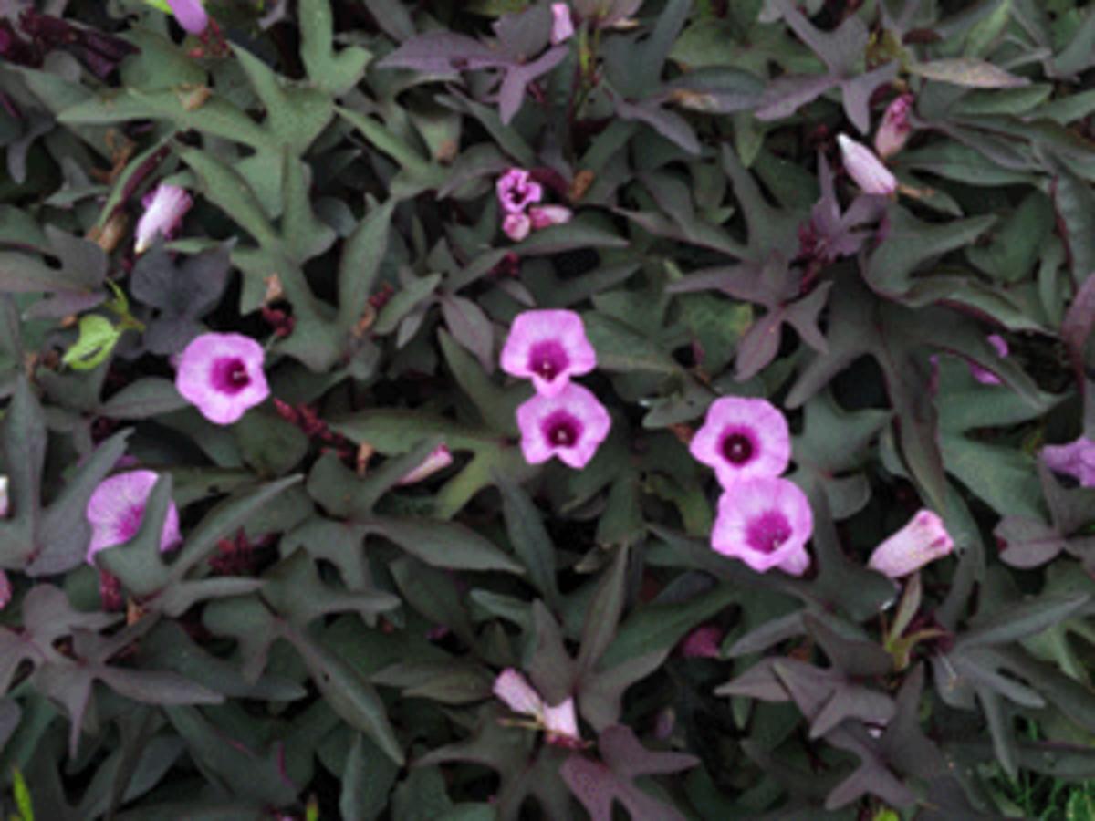 purple potato vine flora mia nero