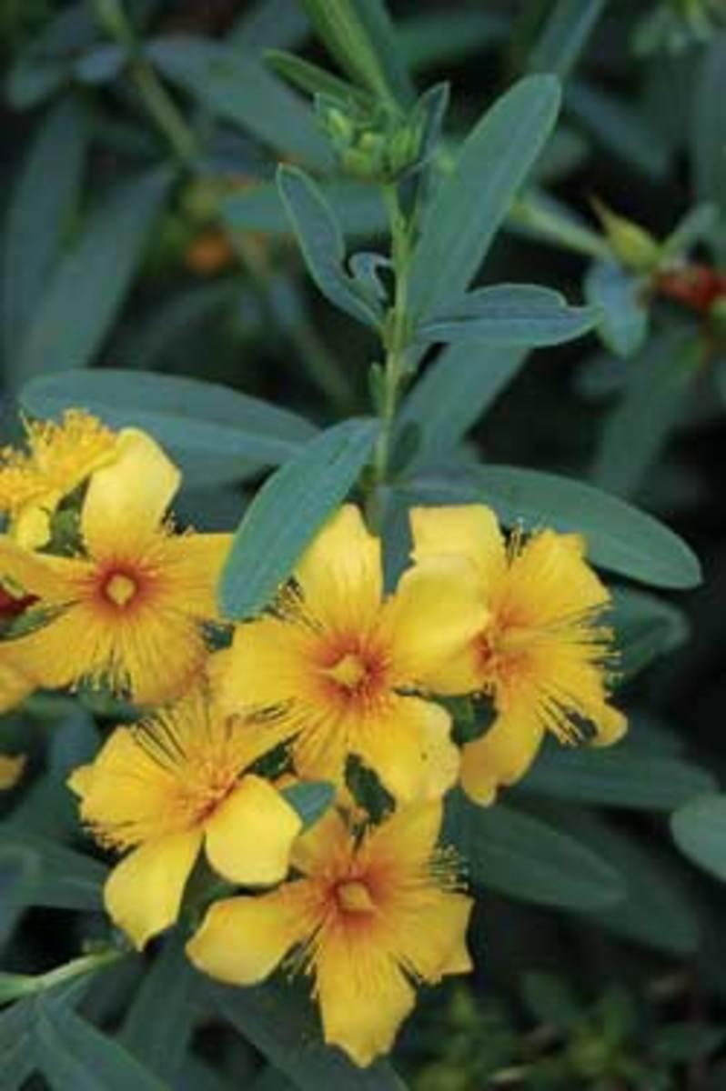 Bright Yellow Flowers of St. Johnswort