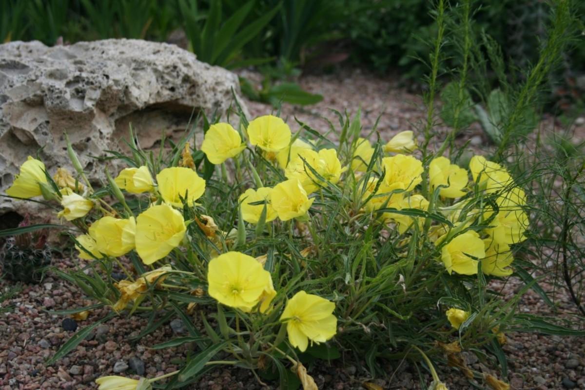 Horticulture Fremont's Primrose