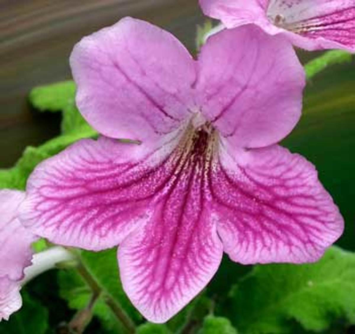 cape primrose streptocarpus