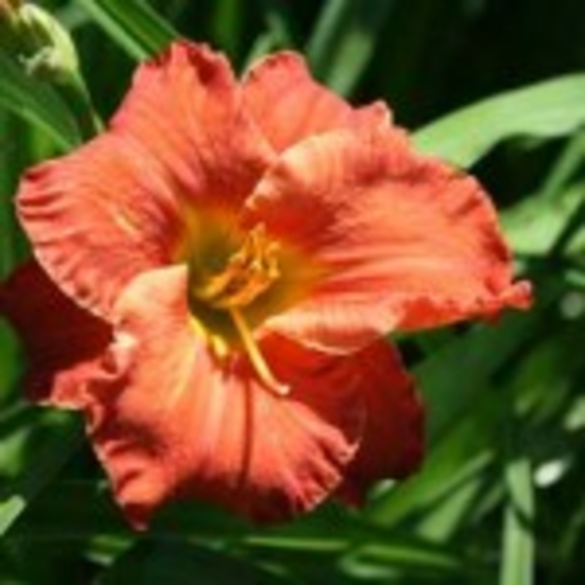 Caribbean Coral Daylily