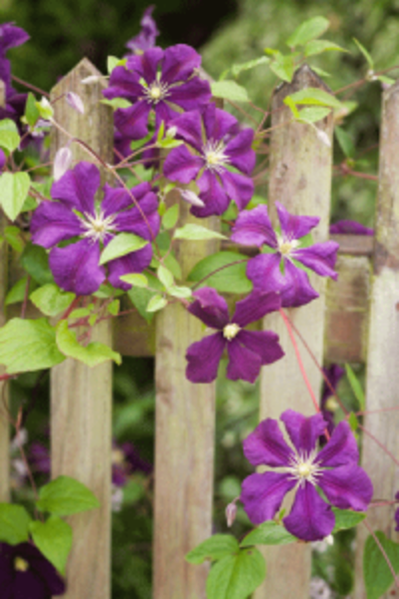 easy clematis viticella