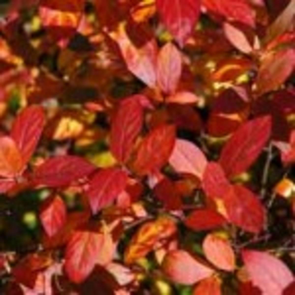 Scarlet Beauty Sweetspire Itea virginica Scarlet Beauty
