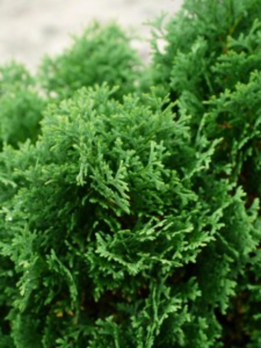 Hot-Head-Arborvitae Horticulture