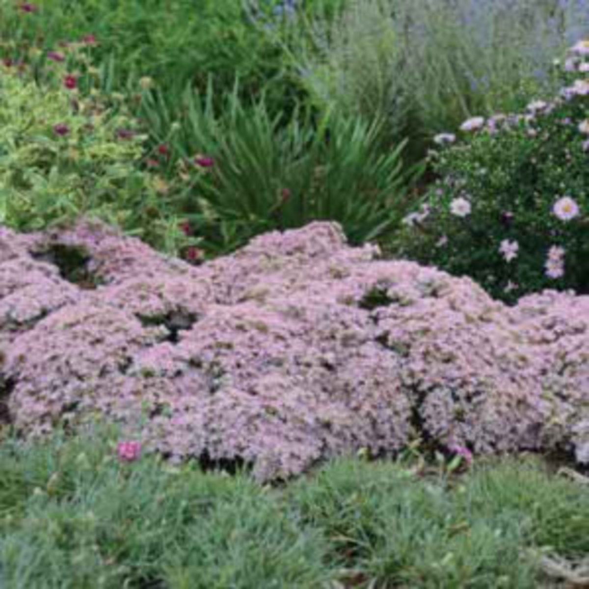 sedum pure joy