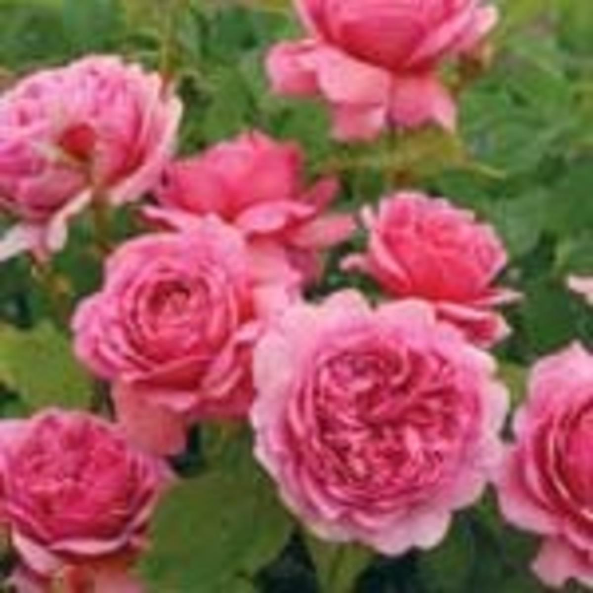Princess Alexandra rose