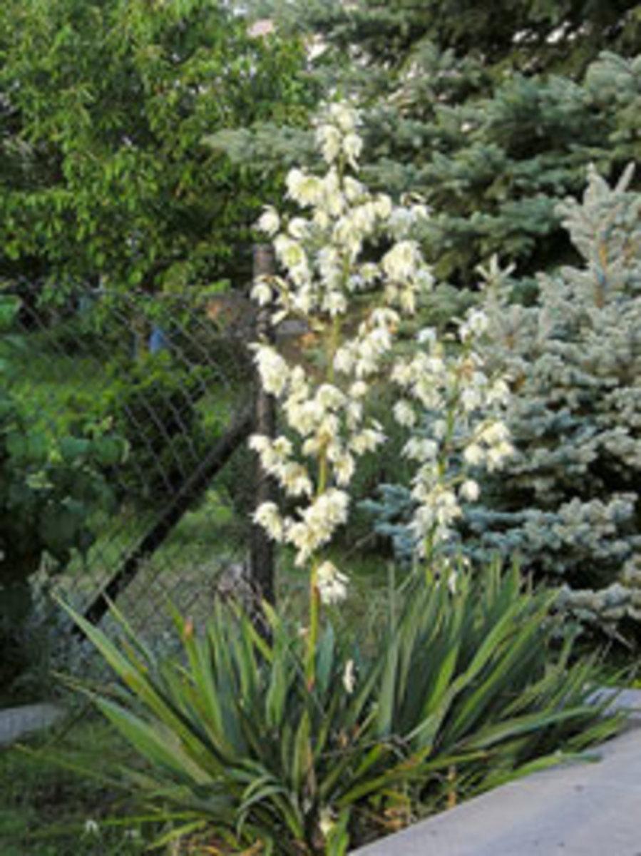 yucca filamentosa