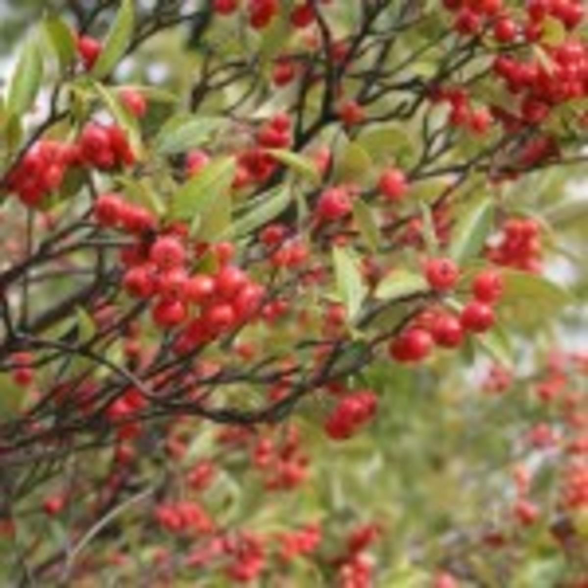 chokeberry aronia arbutifolia
