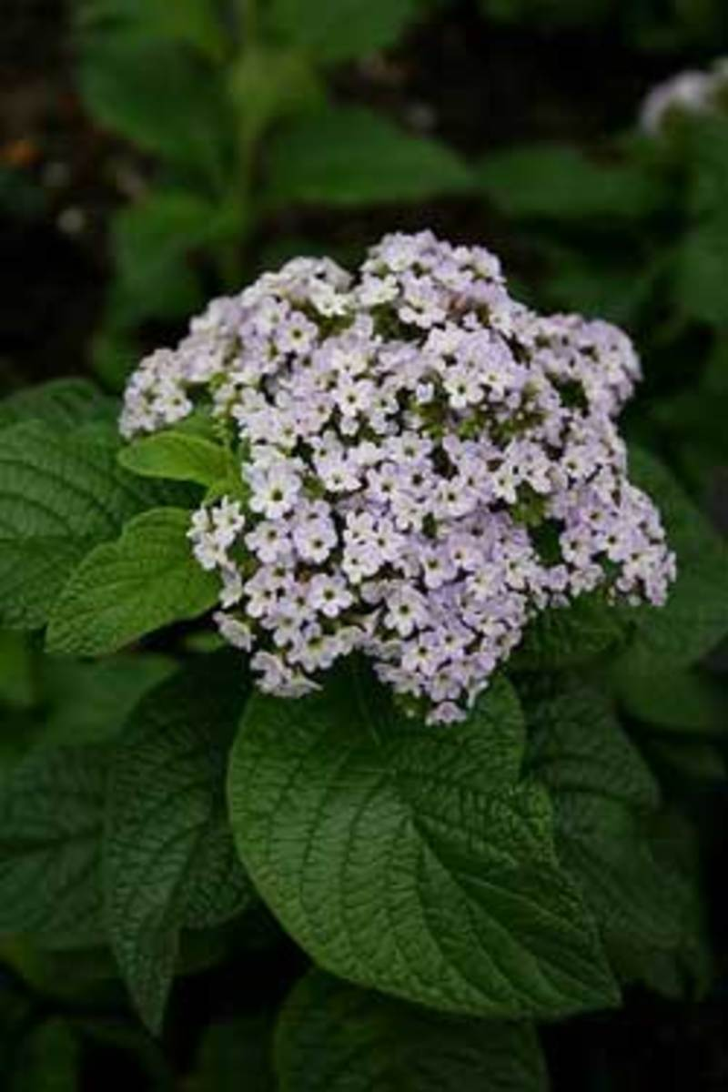 Grow Heliotrope For Its Most Fragrant Annual Flowers Horticulture